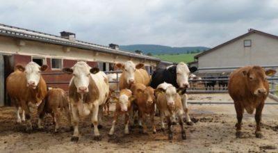 Mutterkuh-Tierbeurteilung in Harzungen